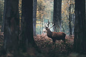 Dark autumn forest with red deer stag standing between brown colored ferns. Side view.