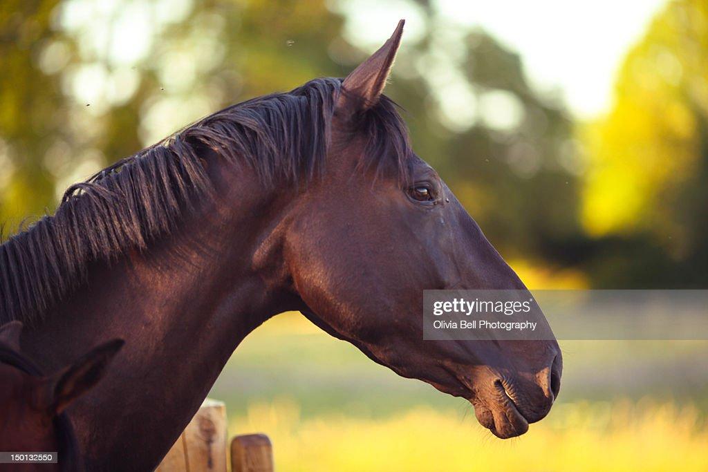 Dark bay horse : Stock Photo