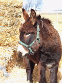 Dark brown donkey