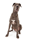 A large Great Dane dog sitting down with drool on face. Isolated on white.