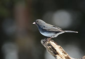 A small black and white junco perched on dead tree branch