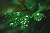 Dark green leaves with dew drops close-up with copy space. Rich greenery with raindrops in shadow in macro. Natural background of green textured plants in rainy weather. Vintage flora in rainy forest.