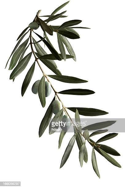 A dark green olive branch on a white background