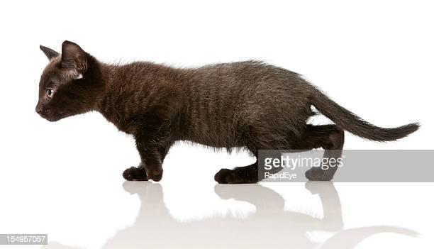 Dark grey kitten in profile on the move, stalking