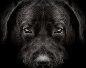 dark muzzle labrador dog closeup. front view
