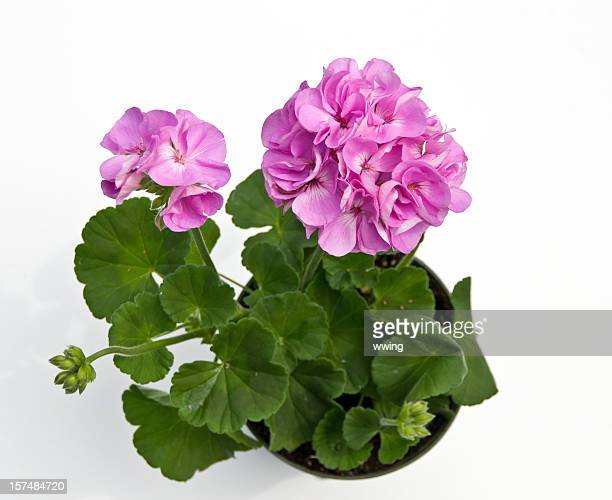 Dark Pink Geranium in Pot