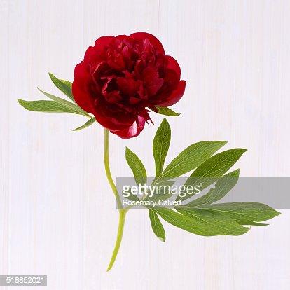 Dark red peony and leaf, natural elegance