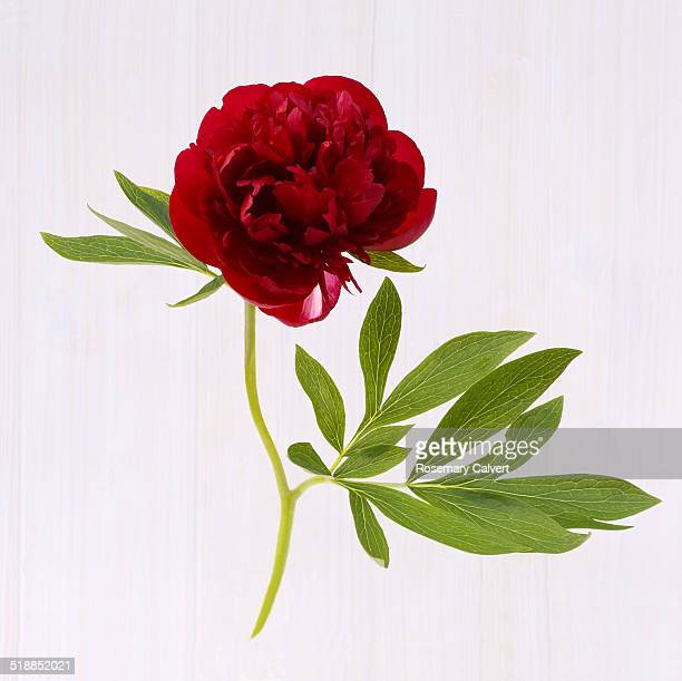 Dark red peony and leaf, natural elegance