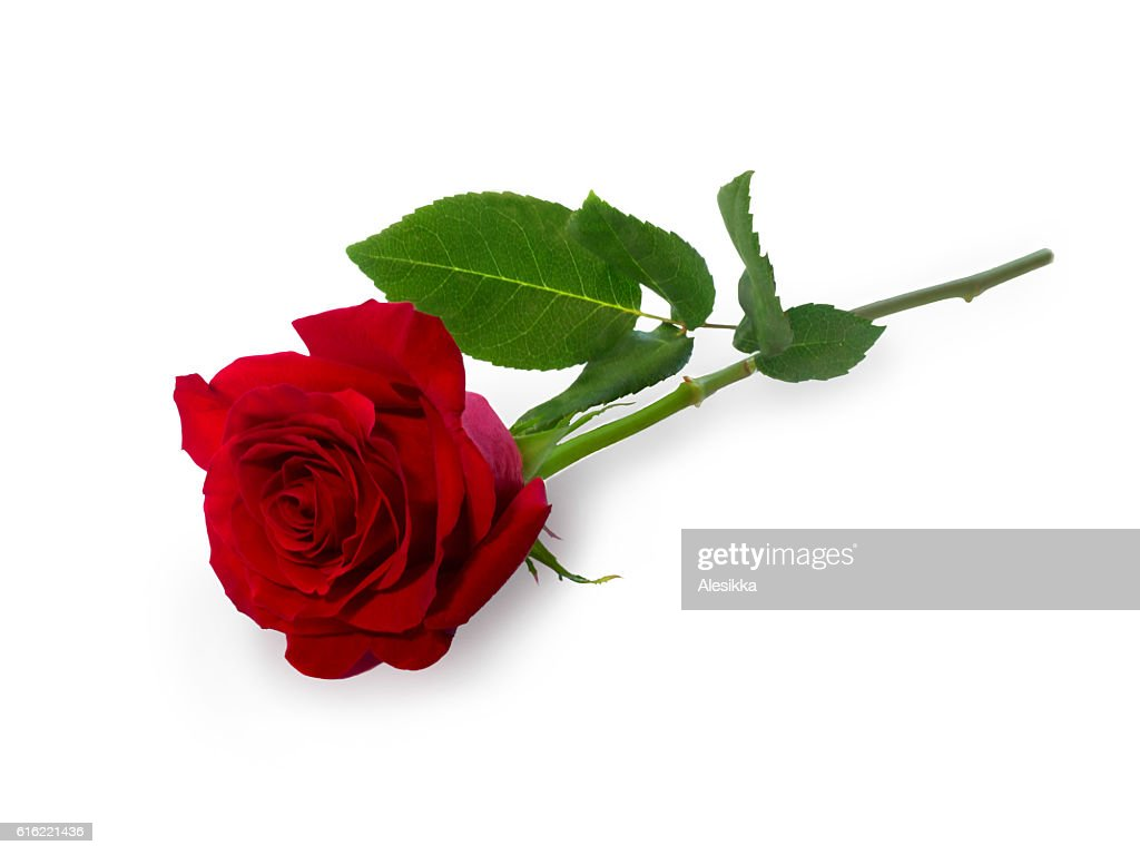 Dark red rose : Stock Photo