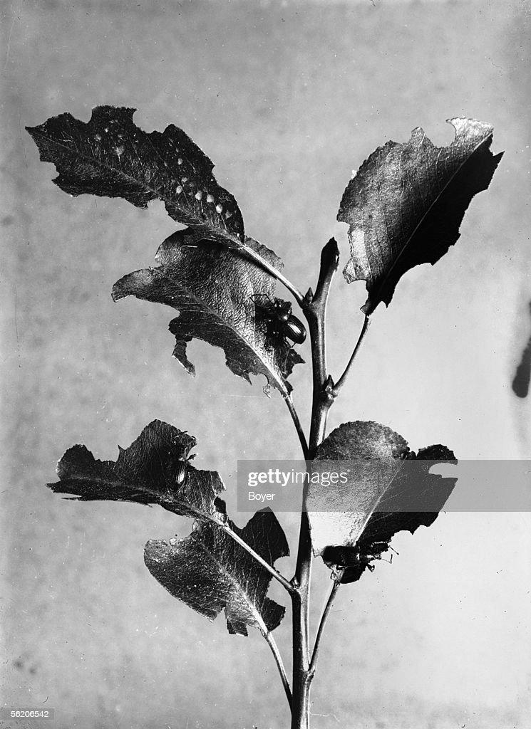 Dark weevils nibbling pear tree leaves France around 1930