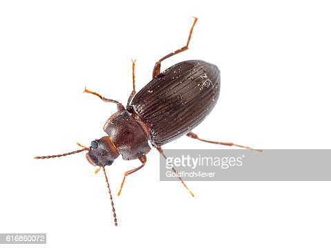 Darkling beetle isolated on white. Tenebrionidae. : Stock Photo