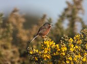 Dartford Warbler in Hampshire