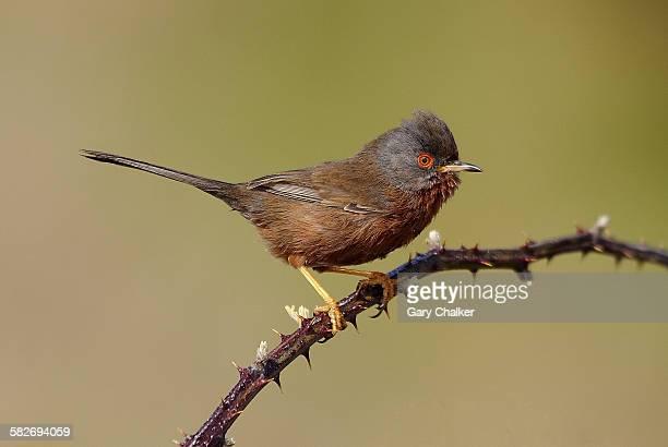 Dartford Warbler [Sylvia undata]
