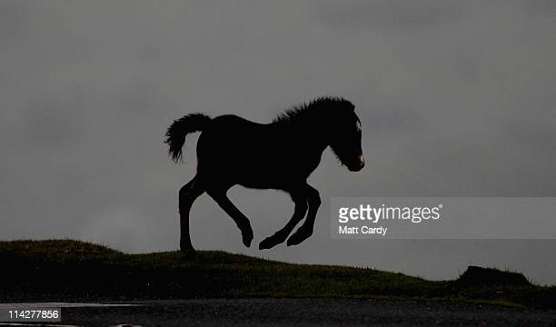 Dartmoor Hill pony foal runs on the moor on Dartmoor on May 17 2011 in Princetown England Although a tourist attraction especially during the foaling...