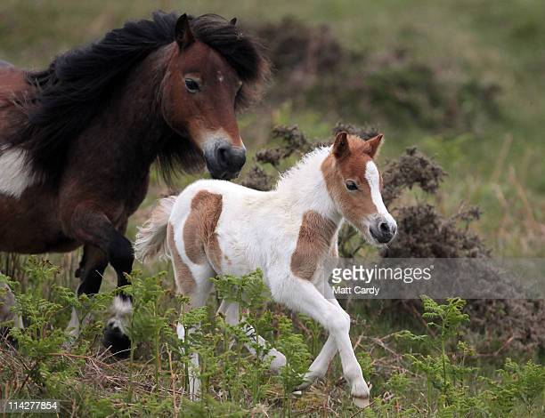 Dartmoor Hill pony foal runs with its mother on the moor on Dartmoor on May 17 2011 in Princetown England Although a tourist attraction especially...