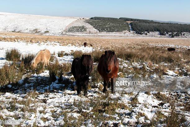 Dartmoor ponies walk in snow that has settled on Dartmoor on February 2 2012 near Princetown England The UK is currently in the grips of a cold snap...
