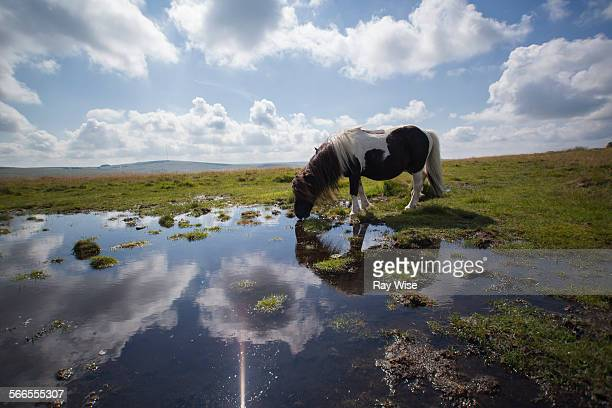 Dartmoor Pony drinking water
