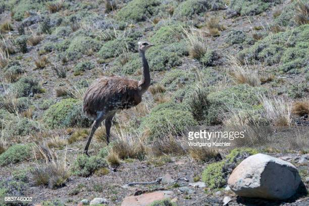 Darwin's rhea also known as the lesser rhea is a large flightless bird in Torres del Paine National Park in southern Chile