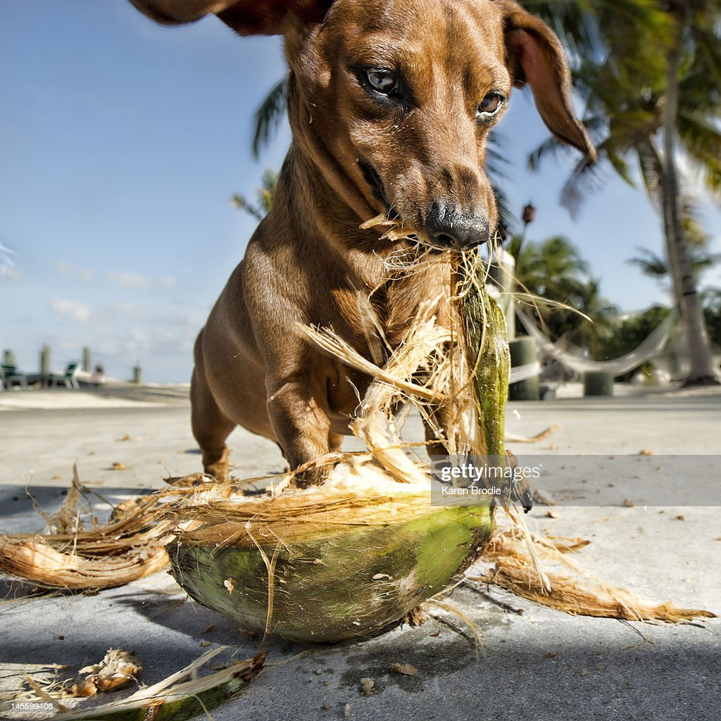 Daschund eating coconut in paradise : Stock Photo