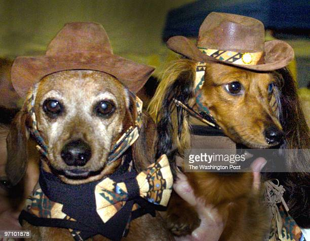 Oct 7 2006 Slug pwdoggies assignment Photographer Gerald Martineau PW Fairgrounds Dachshund gathering Adorned in Western clothes is Lincoln dressed...