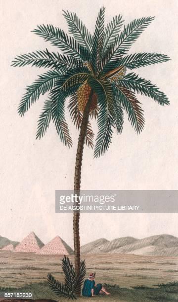 Date palm colour copper engraving retouched in watercolour 9x15 cm from Dizionario delle scienze naturali compilato da vari professori del Giardino...