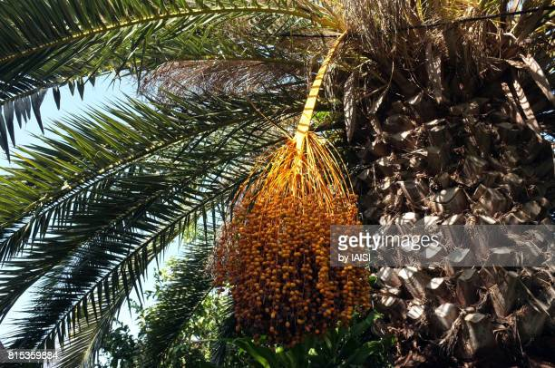Date palm fruit bunch on date palm tree