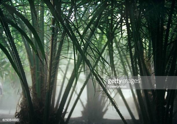 Date palm Phoenix canariensis