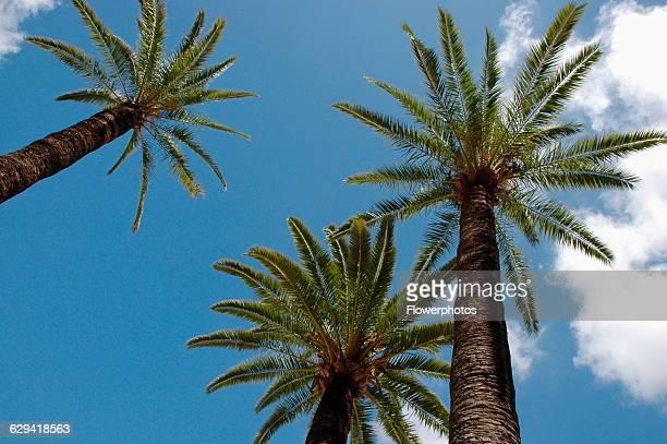 Date palm Phoenix variety not identified