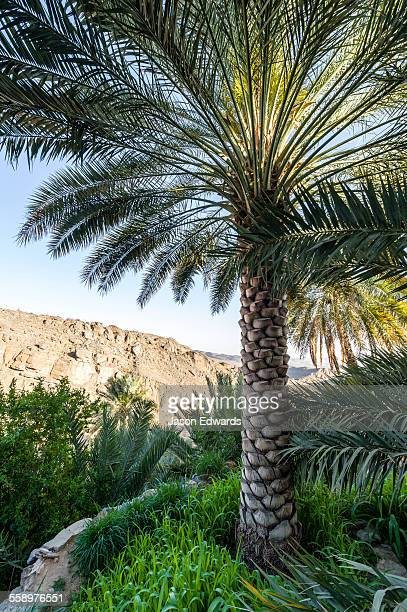 Date palm tree stock photos and pictures getty images for Terrace trees
