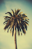 A date palm tree with long palm fronds in Monterey in the USA.