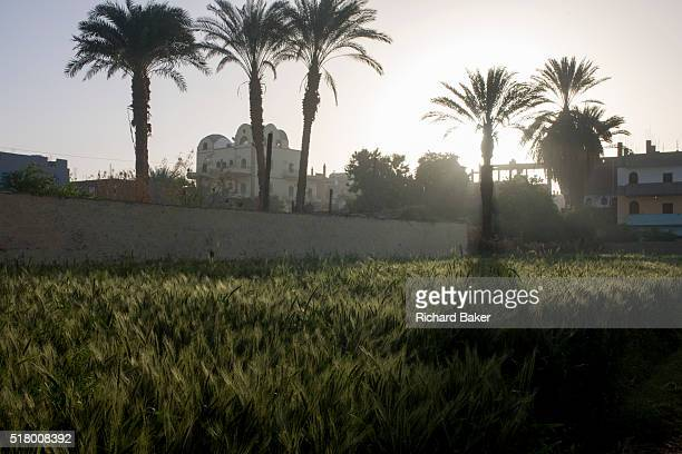 Date palm trees nearby homes and green cereals growing on fertile soil not far from the River Nile in the village of Bairat on the West Bank of Luxor...