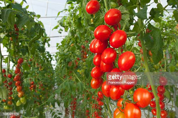 Datterino tomatoes farming