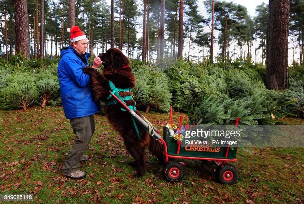 Dave Bone gives a Giant Newfoundland dog called Obi a treat as they launch the Christmas tree sales by transporting trees to customers cars at Birch...