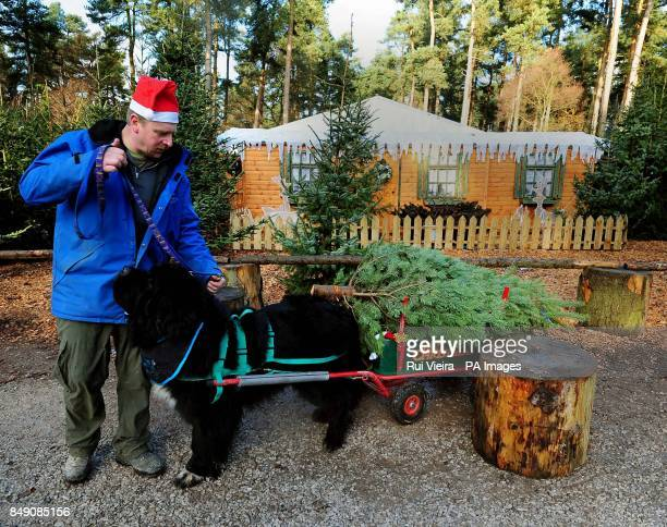 Dave Bone leads a Giant Newfoundland dog called Indi as they launch the Christmas tree sales by transporting trees to customers cars at Birch Valley...