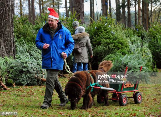 Dave Bone leads a Giant Newfoundland dog called Obi as they launch the Christmas tree sales by transporting trees to customers cars at Birch Valley...