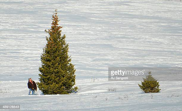Dave Brown of Steamboat Springs hunts for the perfect Christmas tree in the Routt National Forest December 19 2013 Brown after looking at the tree...