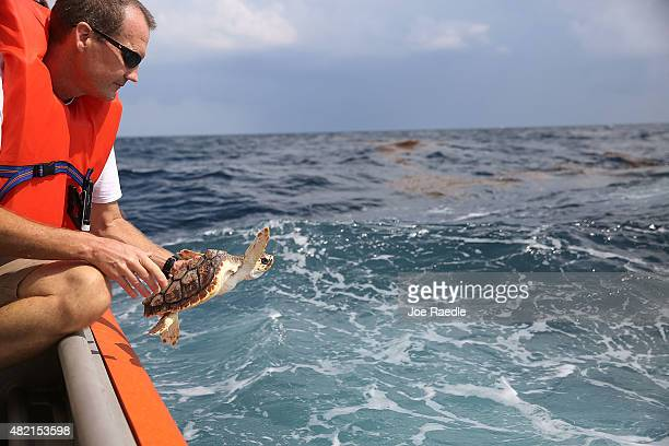 David Anderson a Marine Turtle Specialist prepares to release a Loggerhead turtle as it joins more than 570 baby sea turtles including the Loggerhead...