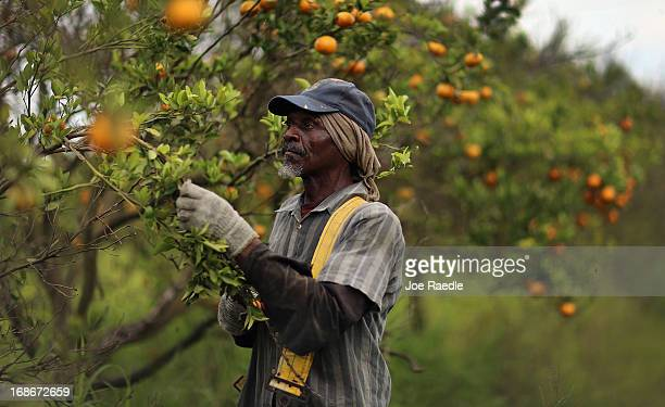 David Hill harvests tangerines as the citrus industry tries to find a cure for the disease 'citrus greening' that is caused by the Asian citrus...