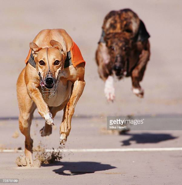 Davlyn Alma wins the first race at the Brighton and Hove greyhound stadium on October 6 2004 in Brighton England