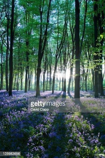 Dawn forest light over a carpet of bluebells at Micheldever Forest, Hampshire, England : Bildbanksbilder