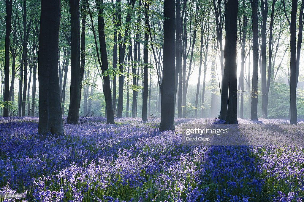 Dawn in bluebell woodland (Hyacinthoides non-scripta), Hampshire, England : Stock Photo