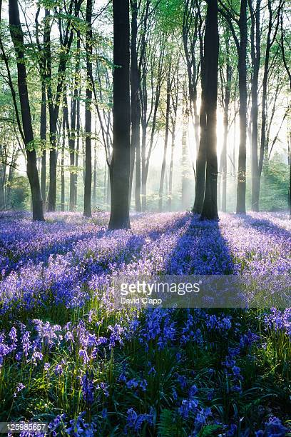 Dawn in bluebell woodland (Hyacinthoides non-scripta), Hampshire, England