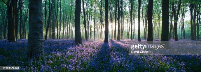 Dawn in bluebell woodland (Hyacinthoides non-scripta), Hampshire, England : Stock Photo
