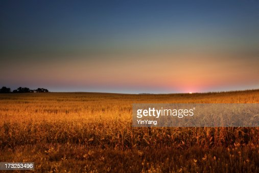 Dawn に中西部 Cornfield にゴールドのハーヴェスト