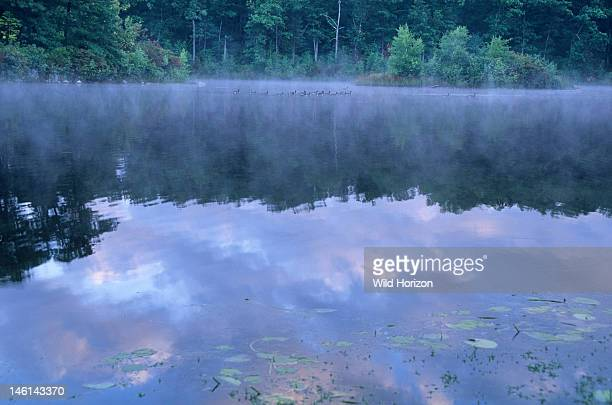 Dawn reflections at Goose Pond added to the Walden Pond State Reservation in 2002 Canada geese in background mist Branta canadensis Goose Pond...