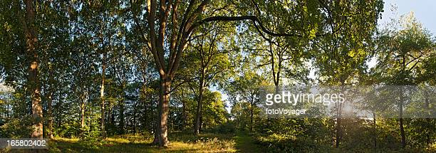 Dawn sun illuminating tranquil green summer forest trail