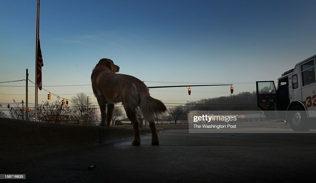 A day after four firefighters were ambushed and shot in upstate NY, Murphy, the golden retriever mascot at Kentlands volunteer fire department, surveys the grounds as a flag stands at half mast on December, 25, 2012 in Landover, MD.