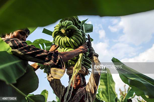 A day laborer assists another to load banana stems onto her head during a harvest in a field in Bhusawal Maharashtra India on Saturday Oct 4 2014...