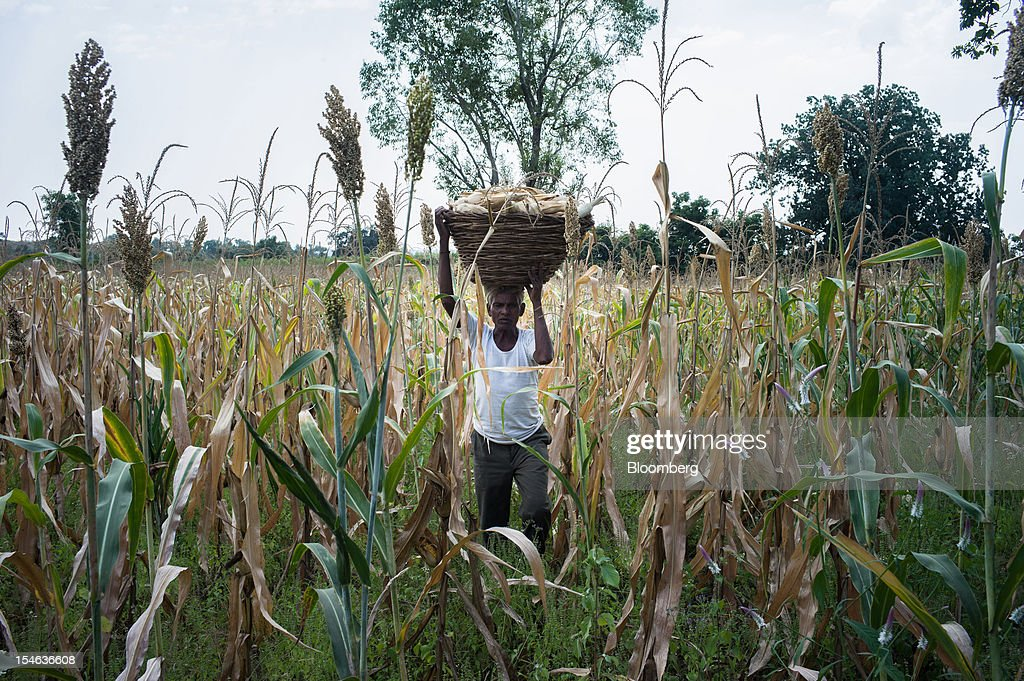 A day laborer carries a basket of corn on his head during a harvest in a field in the district of Burhanpur, Madhya Pradesh, India, on Thursday, Oct. 18, 2012. India is Asia's biggest grower of corn after China. Photographer: Sanjit Das/Bloomberg via Getty Images