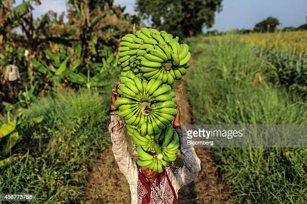A day laborer carries banana stems on her head during a harvest in a field in Bhusawal Maharashtra India on Saturday Oct 4 2014 More than 75 percent...